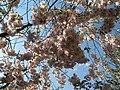 Saint Petersburg. Chinese Garden. Sakura tree2019 04.jpg