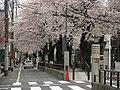 Sakura trees -01.jpg