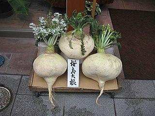 Sakurajima radish