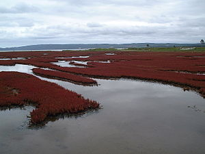 Lake Notoro - Salicornia in Lake Notoro