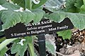 Salvia argentea 2zz.jpg