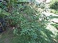 Salvia mexicana - Jardin d'Éden.JPG