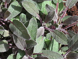 Salvia purpurea 8.JPG