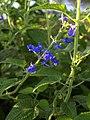 Salvia urica (Scott Zona) 001.jpg