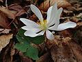 Sanguinaria canadensis - Bloodroot 2.jpg