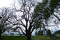 Sauvie island black walnut.JPG