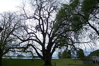 Juglans nigra - The largest known living black walnut tree is on Sauvie Island, Oregon.