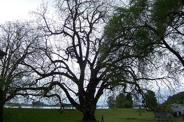 Largest known Black Walnut tree.  In Oregon.