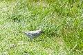 Savannah Sparrow (Ipswich) (7235504672).jpg