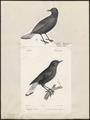 Saxicola leucura - 1700-1880 - Print - Iconographia Zoologica - Special Collections University of Amsterdam - UBA01 IZ16200328.tif