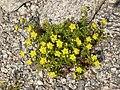 Saxifraga aizoides LC0332.jpg