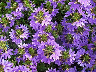 <i>Scaevola aemula</i> Species of plant