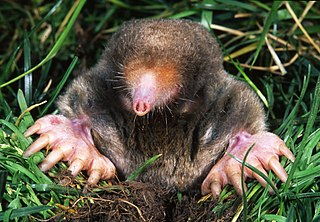 Wiki commons eastern mole