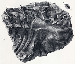Scelidosaurus - Thorax of the neotype.