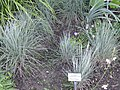 Schizachyrium scoparium - Botanical Garden, University of Frankfurt - DSC02409.JPG