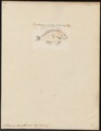 Sciaena xanthurus - 1700-1880 - Print - Iconographia Zoologica - Special Collections University of Amsterdam - UBA01 IZ13400025.tif