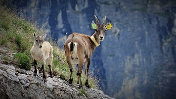 Scientific monitoring of ibex in Vanoise National Park, France (8).jpg