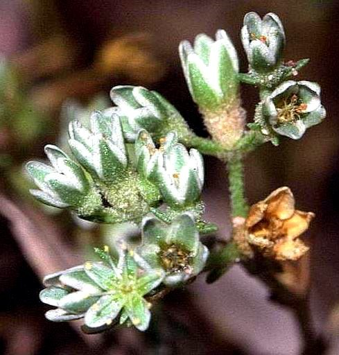 Scleranthus perennis cropped