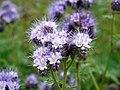Scorpion weed (Phacelia tanacetifolia) - geograph.org.uk - 1427180.jpg