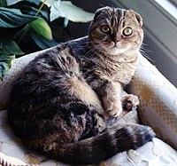 Un scottish fold 'double pliure