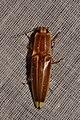 Semiotus ligneus? (15620988405).jpg
