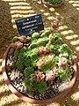 Sempervivum cantabricum (Crassulaceae).JPG