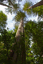 Sequoia sempervirens Big Basin Redwoods State Park 2.jpg
