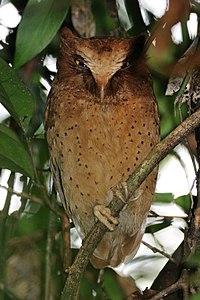 Serendib Scops-owl.jpg