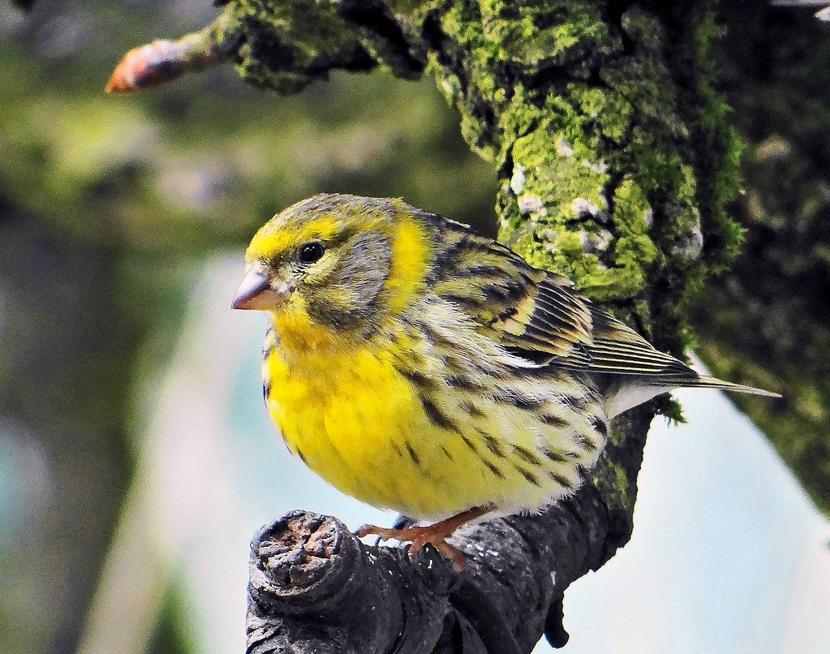 Serin cini wikip dia for Oiseaux de jardin au printemps