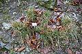 Sesleria albicans - Botanischer Garten, Dresden, Germany - DSC08716.JPG