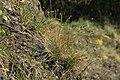 Sesleria caerulea in natural monument Calvary in Motol in spring 2012 (1).JPG
