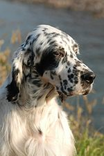 head study of English setter bitch