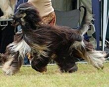 afghan hound wikipedia the free encyclopedia