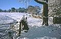 Sheep, Pantllwyd. - geograph.org.uk - 36623.jpg
