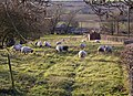 Sheep Grazing near the Horkstow Road - geograph.org.uk - 1057209.jpg