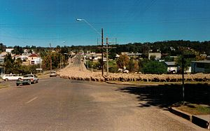 Drover (Australian) - Sheep droving through the town of Warialda in northern New South Wales