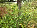 Shepherdia canadensis (7996252864).jpg