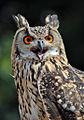 Siberian Turkamanian Eagle Owl - CNP 13581 (6794826858).jpg