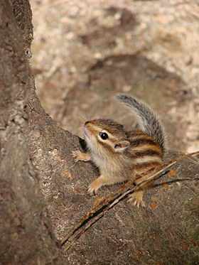 Siberian chipmunk in Korea.jpg