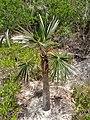 Silver Palm - panoramio.jpg