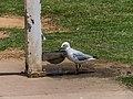 Silver gull drinking from dog bowl Sandgate foreshore Bramble Bay Queensland P1090387.jpg