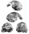 Sinanthropus Skull X.png