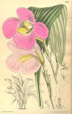 Siphonochilus kirkii (Kaempferia kirkii elatior) Curtis 134 8188.jpg