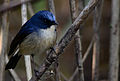 Slaty blue Flycatcher.jpg