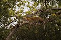 Sleeping Beauty - Sri Lankan leopard.jpg