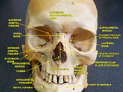 Perpendicular plate of ethmoid bone - Wikiwand