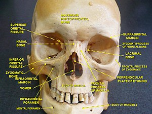 Facial skeleton - Image: Slide 2rome