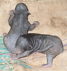 Sloth bear cubs by Samad Kottur.jpg
