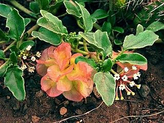 <i>Tripterocalyx micranthus</i> species of plant
