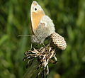 Small Heath (Coenonympha pamphilus).jpg